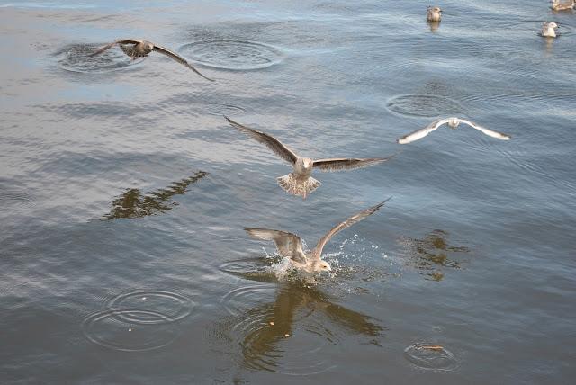 nadmorskie ptaki