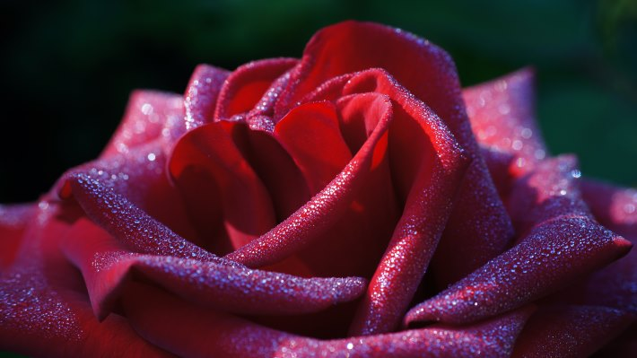 Wallpaper: Hot. Love. Macro. Flowers. Roses 3