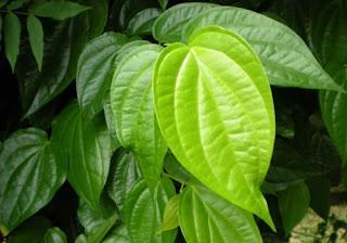 Cara mengobati mata belekan dengan daun sirih