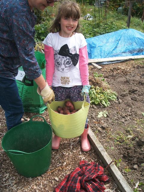 harvesting red kestrel potatoes