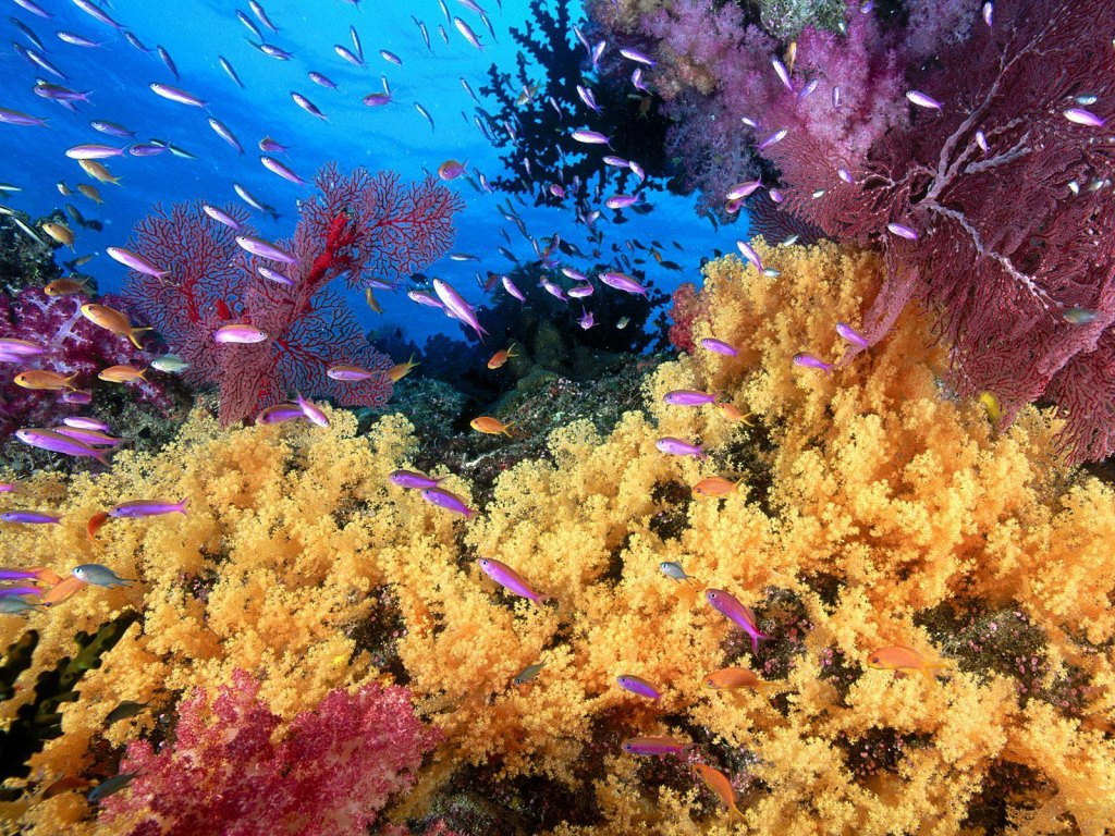 Wallpaper Sea: coral reef