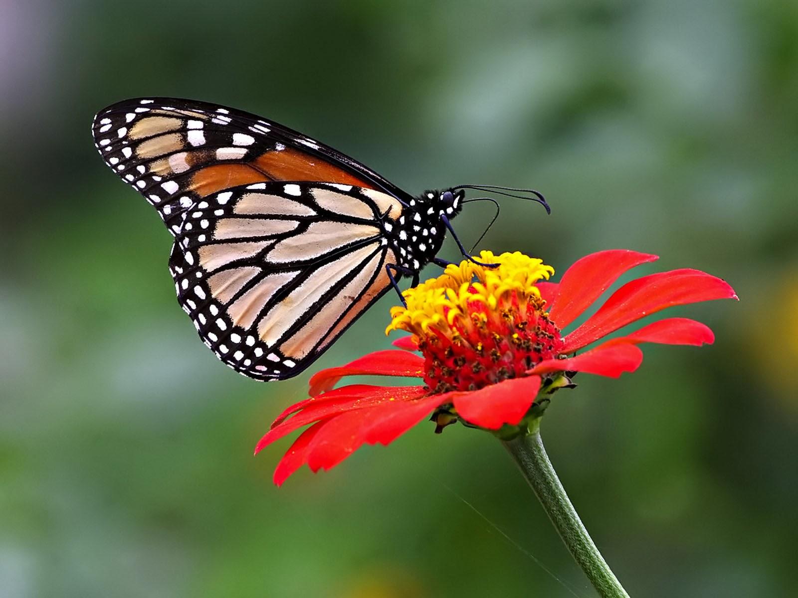 wallpapers: Butterfly Desktop Backgrounds