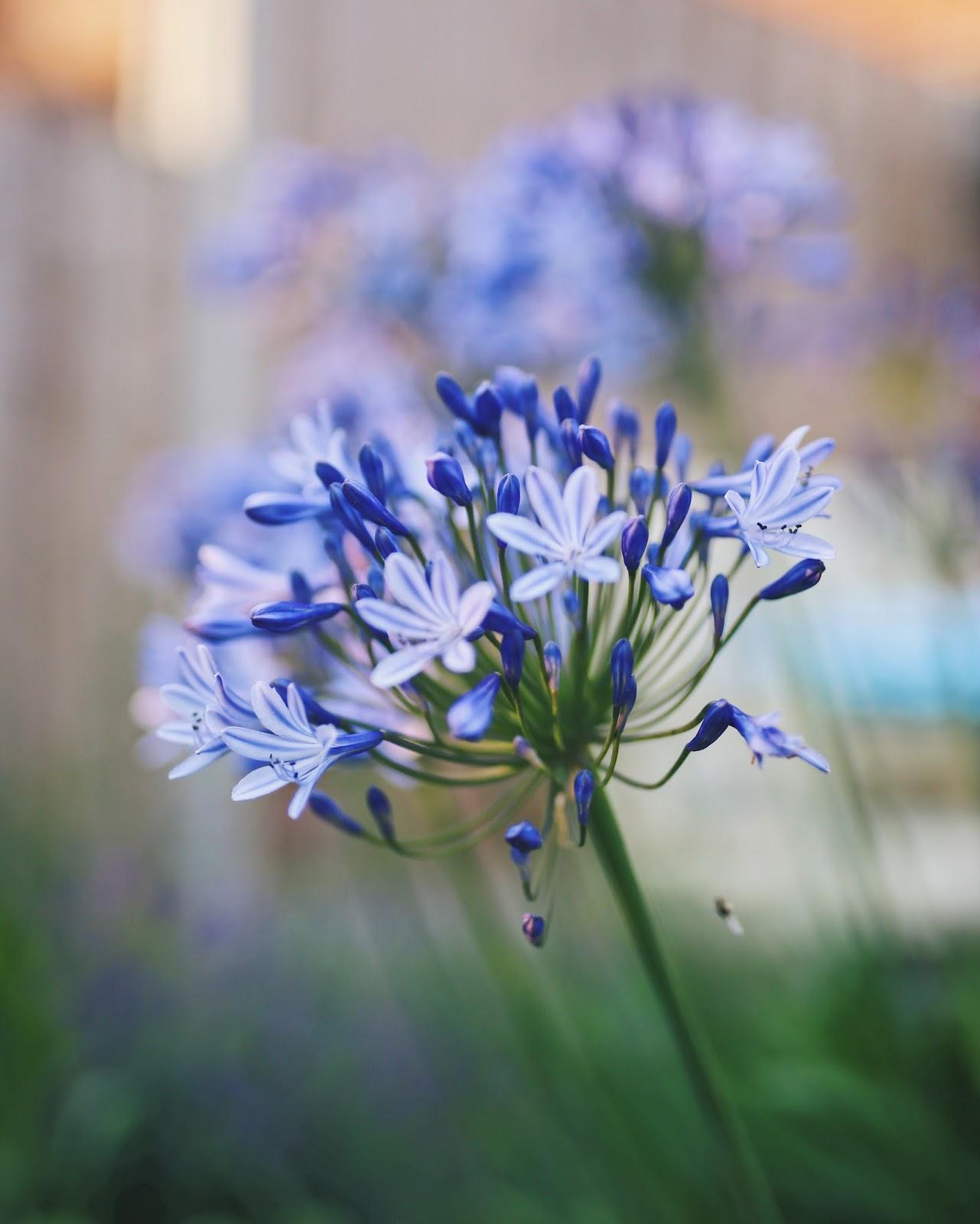 Cornflower, Blue, Purple, Blooms, Plants, Flowers, Katie Writes Blog, Katie Writes,