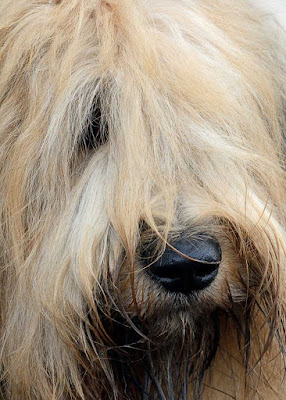 Close-up of the face of a Briard dog