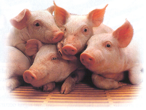 http://www.diamondv.com/species/swine-nutrition-and-health/