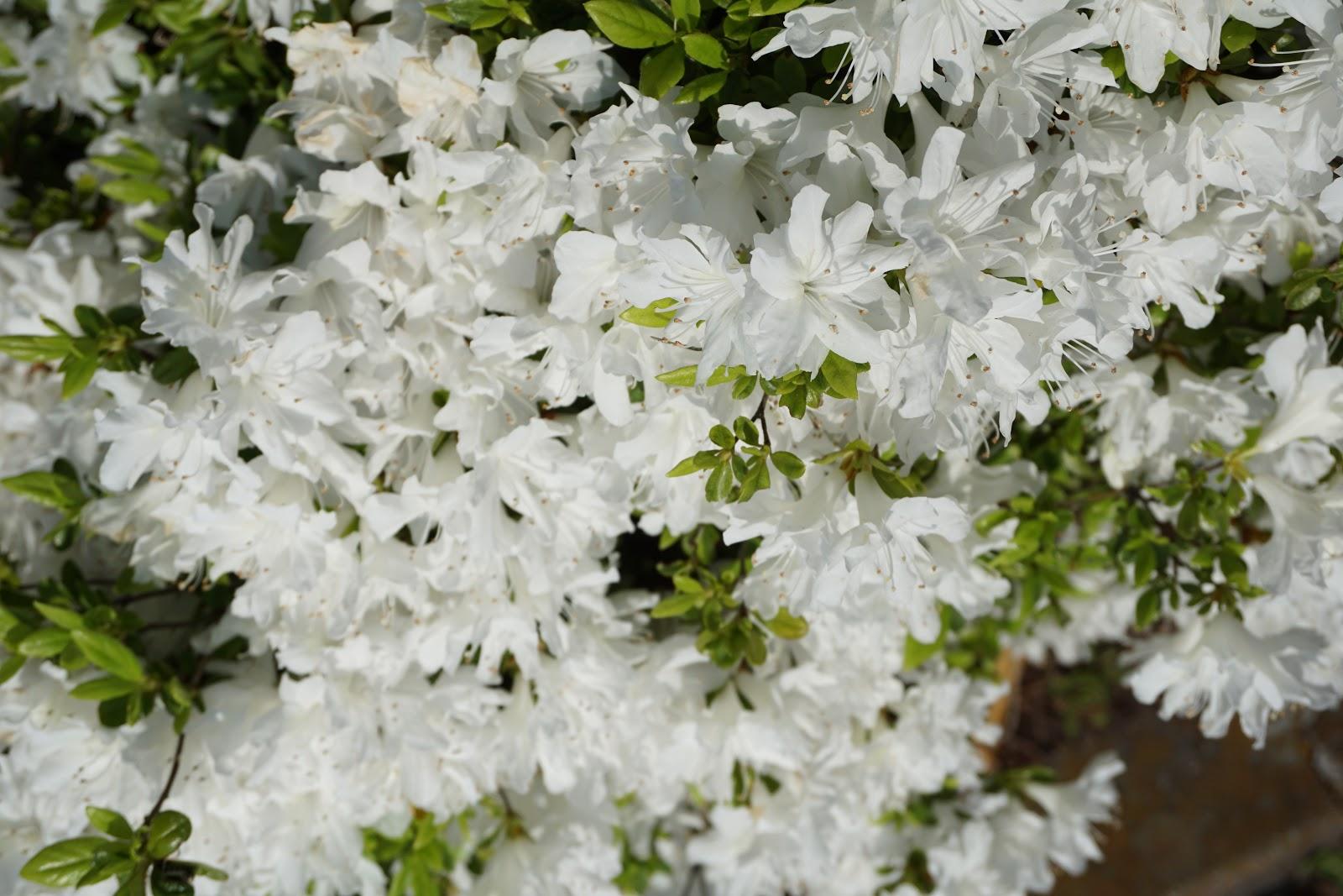 日溜まり白の皐月の花