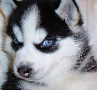 Rules of the Jungle: Siberian husky puppies