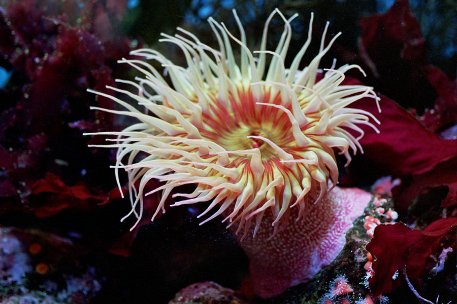 Multiple Choice Questions on Phylum Cnidaria (Coelenterata ...