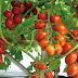 Begini Cara Menanam dan Budidaya Tomat pada Lahan Kecil