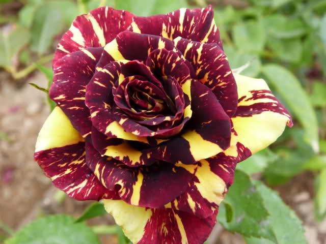 Las 10 Rosas Mas Bellas Del Planeta