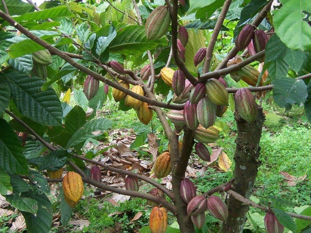 A Dél-Amerikában őshonos kakaófák az Amazonas és Orinoco ártereinek és  Ecuador folyópartjain nőnek d7a4cad91c
