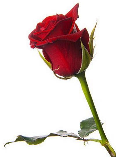 Rosas rojas - Imágenes ~ Questionarte