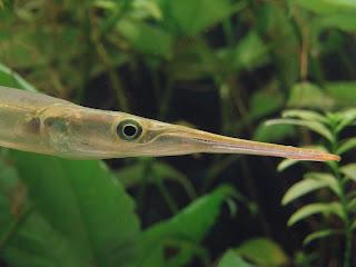 Xenentodon cancila - Freshwater garfish - yonna/යොන්නා