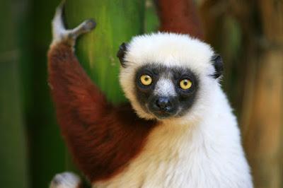 Assemelham-se aos macacos, no aspecto e nos hábitos, mas são dotados de focinho que lembra o da raposa, grandes olhos, pelo lanoso, muito macio, e cauda geralmente longa e peluda.