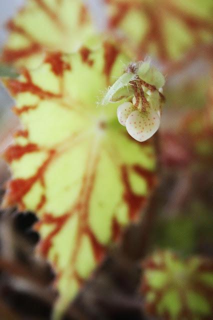 eyelash begonia, flower buds, hearts, begonias, houseplants, Anne Butera, My Giant Strawberry