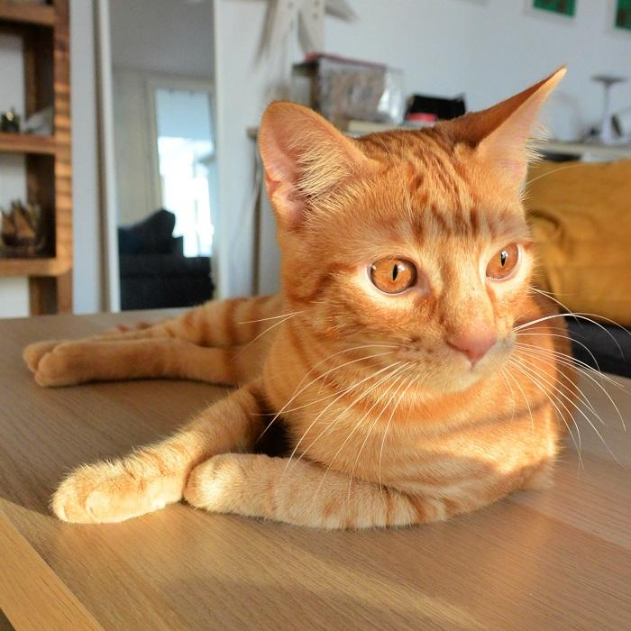 Photo de Toulouse, chat roux, ginger cat, à l'affût, Hello c'est Marine