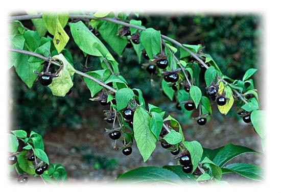 Plantas venenosas - Beladona (Atropa Belladonna)