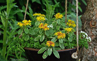 http://fotobabij.blogspot.com/2015/03/rozchodnik-kamczacki-variegatum-kwiaty.html
