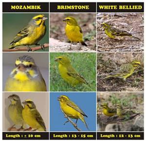 gambar burung mozambik