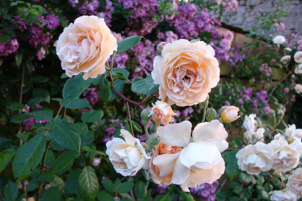 Les roses for Rosier grimpant pour mi ombre