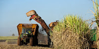 Bringing home the harvest: GMO sugarcane could prove more productive than expected. (Image Credit: Jonathan Wilkins via Wikimedia Commons) Click to Enlarge.