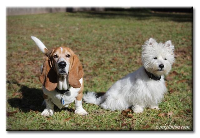 Basset Hound and Westie