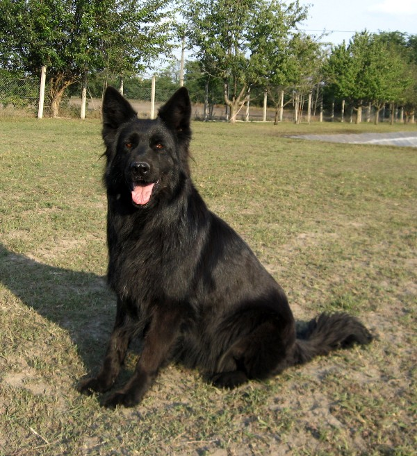 German Shepherd Dog Breeds Pictures | Dog Breed Pictures ...