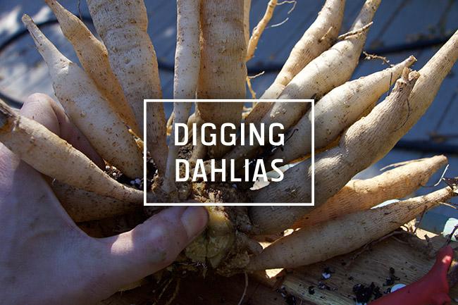 Digging and Dividing Dahlias