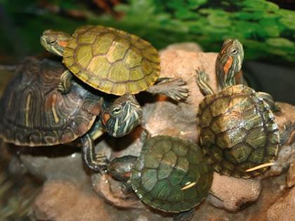 Mengumpulkan Kura-kura