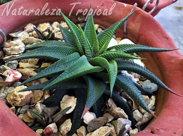 Planta suculenta Piel de Cocodrilo en maceta, Haworthia limifolia