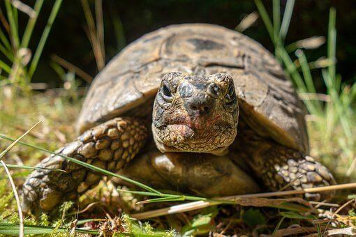 Piramidismo en tortugas, enfermedad que puede ocasionar la muerte