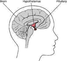 Letak Kelenjar Hipofisis atau pituary
