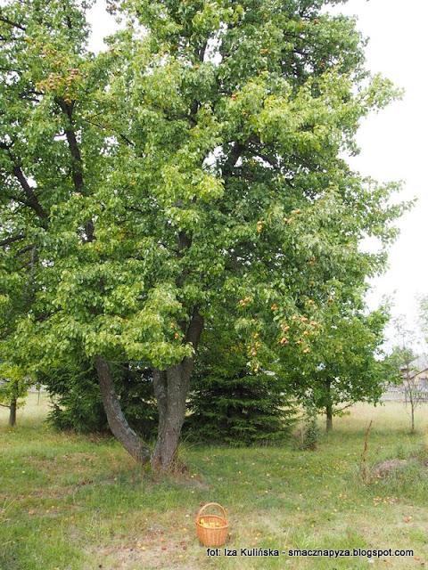 gruszka, drzewo, ulegalka, podlasie, owoce, drzewo owocowe