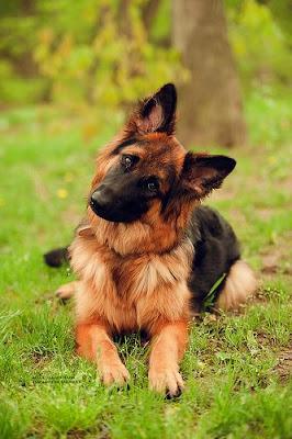 Confused German Shepherd ears