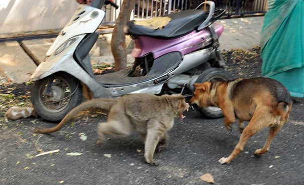A Monkey Defended A Puppy From Stray Dogs And Became Its New Parent