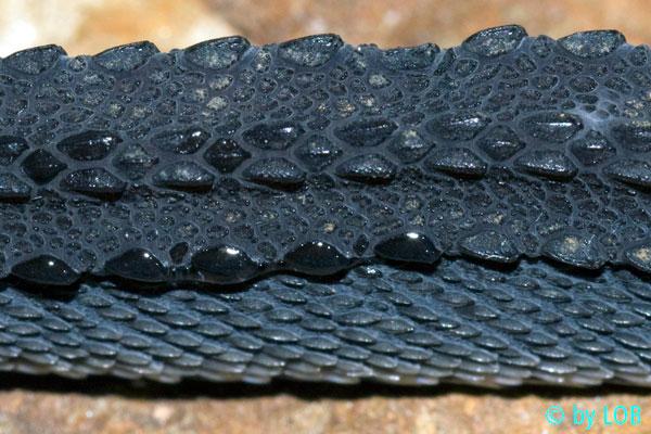 Resultado de imagem para xenodermus javanicus