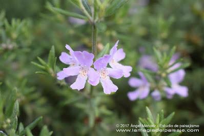 westringia fruticosa, romero australiano, jardinería, jardines bajo consumo