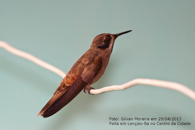 Resultado de imagem para imagens de beija-flor - marrom