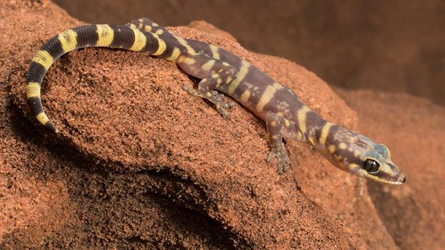Ancient gecko shines light on Australian desert origins