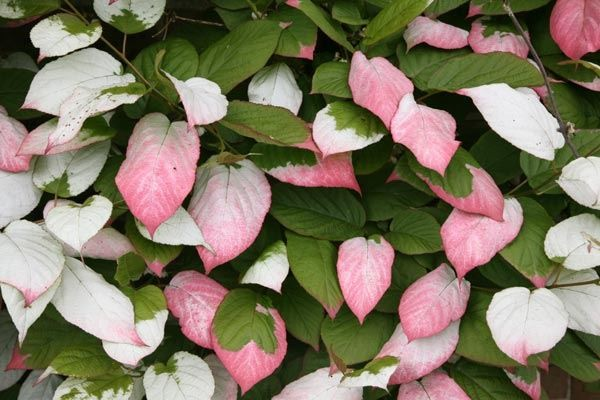 CLIMBING PLANTS FOR FOLIAGE COLOUR EFFECT