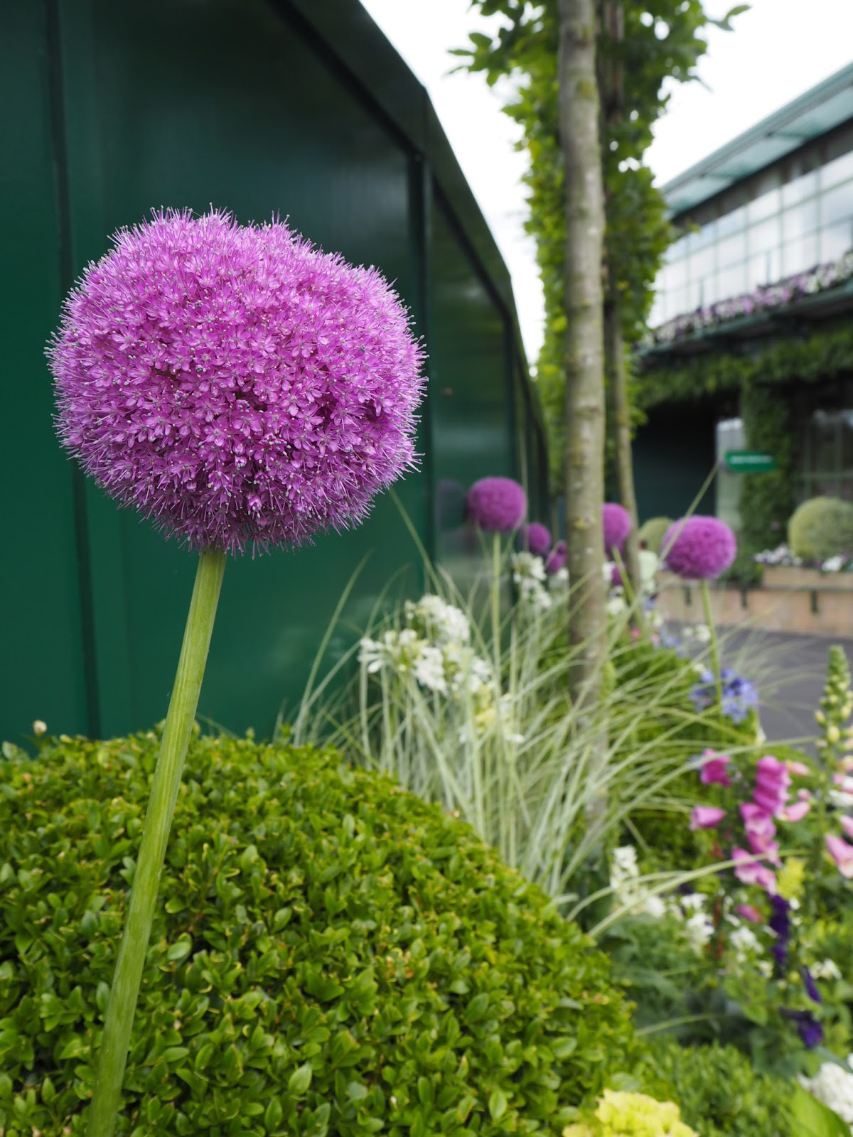 Wimbledon Allium Purple and Green Flowers of the grounds