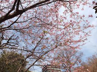 東京都の椿山荘の庭の桜画像です。