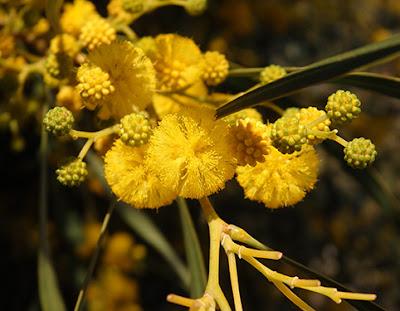 Flores amarillas de Acacia, mimosa (Acacia retinoides)