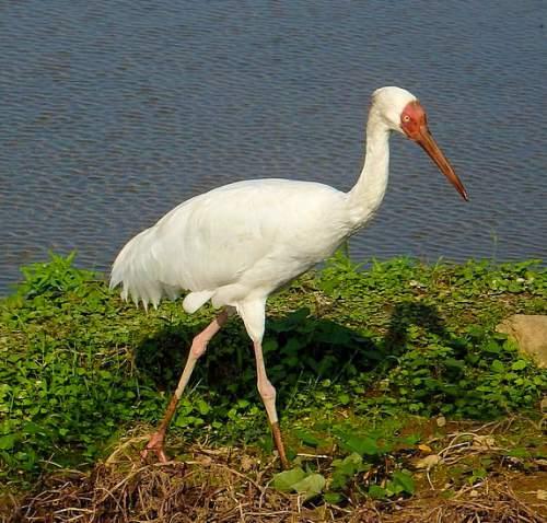 Birds of India - Siberian crane - Leucogeranus leucogeranus