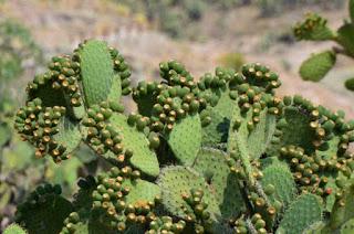 Destaca Guanajuato uso y propiedades del nopal en Expo 2019