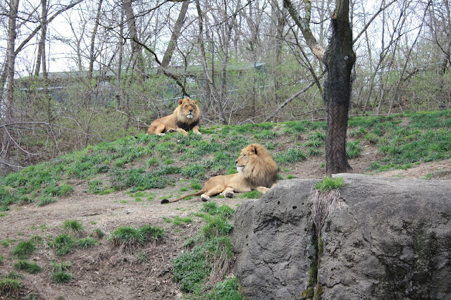 Lions relax at the Pittsburgh Zoo