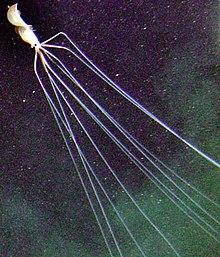 Big fin squid | magnapinna squid