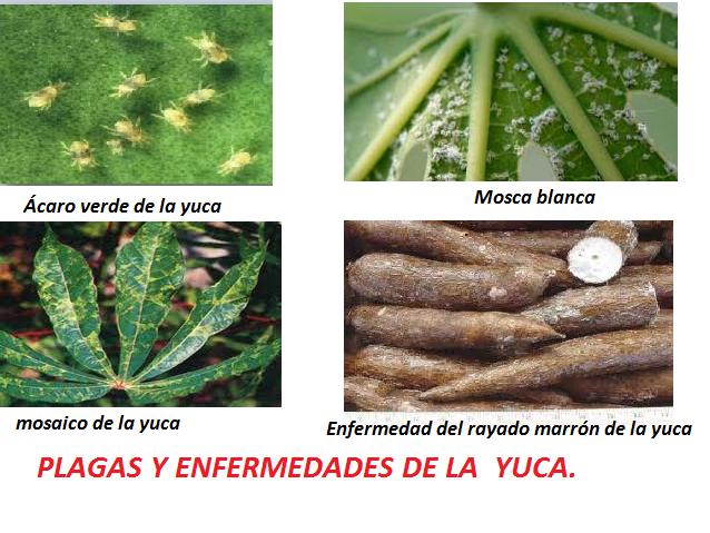 Principales plagas y enfermedades de la Yuca .- Incluye Manual en pdf gratis