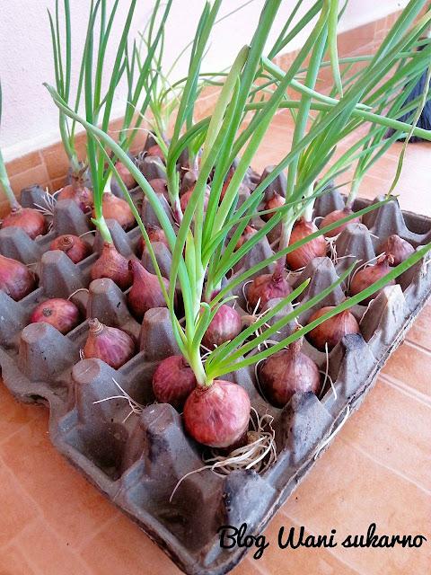 daun bawang tanpa tanah