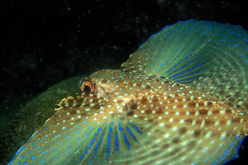 The Flying Gurnard Fish | Dactylopterus volitans
